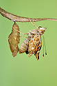 Painted Lady butterfly {Vanessa / Cynthia cardui} emerging from chrysalis. Sequence 11/14.