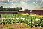 Tobacco growing farm and barns, Hartford, CT.