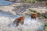 A brown bear chases another from a favorite fishing spot at the McNeil River Falls,  in Alaska's McNeil River State Game Sanctuary.