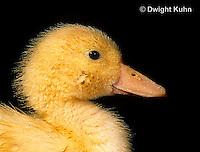 DG10-065x  Pekin Duck - four day old duckling