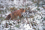 Red Fox hunting in a fresh blanket of snow in Denali National Park.