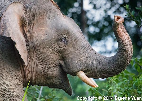Borneo Pygmy Elephant Portrait
