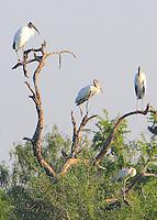 Wood storks in roosting tree