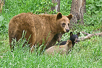 Cinnamon Black Bear family standing in a field by a forest