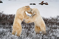Polar bears sparring in the Churchill tundra in Manitoba, Canada.