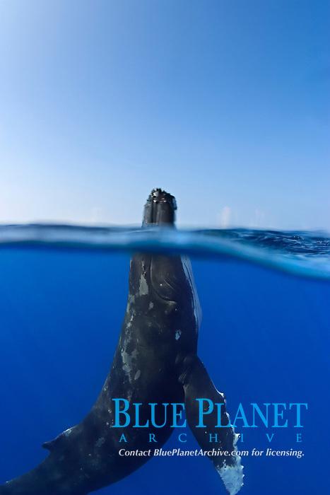 humpback whale, Megaptera novaeangliae, spyhopping, Kohala Coast, Big Island, Hawaii, USA, Pacific Ocean