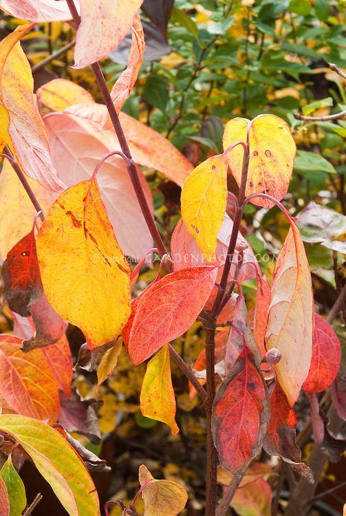Cornus florida 'Autumn Gold' foliage dogwood in fall foliage