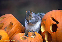 MA23-214z   Gray Squirrel - eating pumpkin seeds from carved Halloween pumpkin  - Sciurus carolinensis