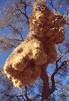 Natura in Namibia: nido a condominio dell'uccello tessitore