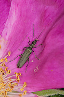 Graugrüner Schenkelkäfer, Blütenbesuch auf Rose, Oedemera virescens, Scheinbockkäfer, Schein-Bockkäfer, Scheinböcke, Pollen-feeding Beetle, Thick-legged Flower Beetle, false blister beetles, pollen-feeding beetles, Oedemeridae