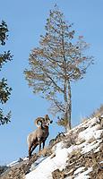 Bighorn rams are often seen in the eastern Lamar Valley in winter.