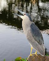 A black-crowned night heron ('auku'u) perched on a rock while fishing, Kaua'i.