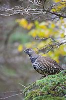 Spruce grouse, Katmai National Park, Alaska.
