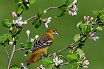 Female Baltimore oriole perched in a flowering apple tree.