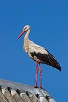 Weißstorch, Weiß-Storch, Weissstorch, Storch, Ciconia ciconia, White Stork, Cigogne blanche