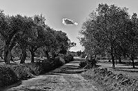 olive trees in the Salento - 2012