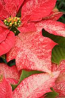 Poinsettia 'Monet Twilight' Euphorbia pulcherrima red foliage flower bracts, Christmas plant