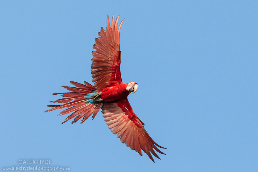 Red-and-Green Macaw (Ara chloropterus), Blanquillo Clay Lick, Manu Biosphere Reserve, Peru. November.