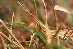 Acrida ungarica grasshopper illustrating camouflage, Turkey