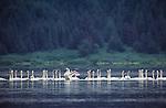 Trumpeter swans, Bering Lake, Alaska