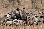 African white-backed vultures quickly move in to clean up all remaining morsels of flesh left behind from a recent kill in Kenya's Mara River region. The sight of circling vultures is often the first indication that a kill has occurred.