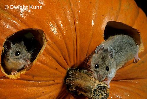 MU59-029z  White-Footed Mouse - on Jack-o-lantern -  Peromyscus leucopus