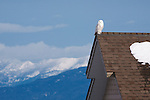 A snowy owls perched on a roof with the Mission Mountains in the background in western Montana