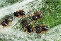 JS01-117x  Jumping Spider - young spiderlings in nest - Phidippus clarus