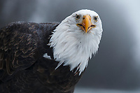 Bald Eagle (Haliaeetus leucocephalus) portrait. Southeast, Alaska. December.