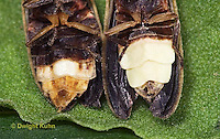 1C24-707z  Pyralis Firefly light close-up Male [r] Female [left] - Lightning Bug - Photinus spp.