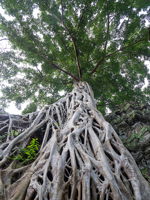 A mammoth size tree embraces the old and ancient Khmer Temples at Ta Prohm,  Cambodia.