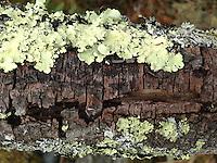 Lichen and Bark, Castine, Maine, US