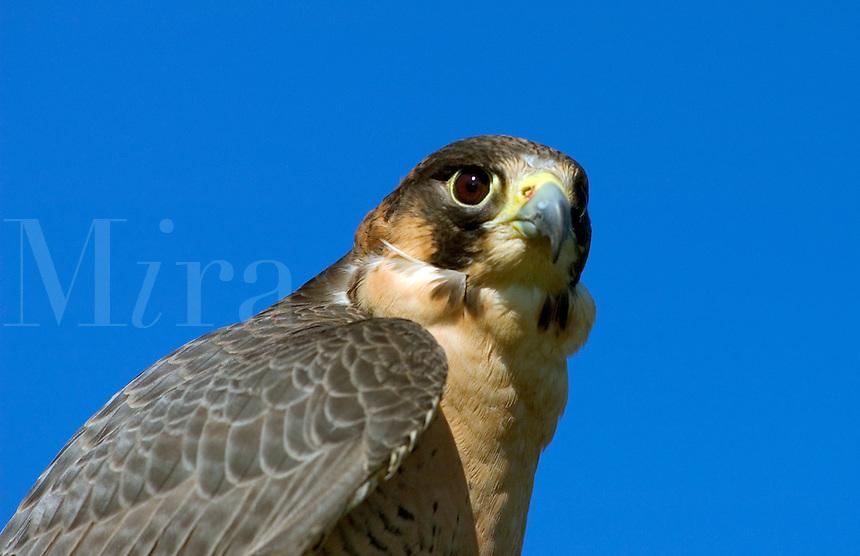 The head of a  Barbary Falcon (Falco pelegrinoides)