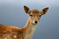 Portrait of a young fallow deer in front of a blurred background