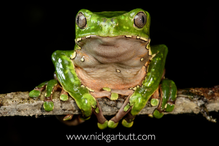 Giant waxy monkey frog or leaf frog (Phyllomedusa bicolor) climbing in rainforest canopy. Lowland Amazon rainforest, Manu Biosphere Reserve, Peru.