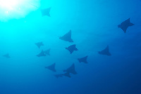 Large group of Spotted Eagle rays (Aetobatus narinari) swimming, underwater view,, Ecuador, Galapagos Archipelago,
