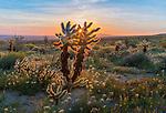 Anza Borrego Desert State Park, California:<br /> Cholla cactus back-lit by morning sun at Yaqui Meadows