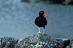 ALASKA, Black oystercatcher, guarding territory, Haematopus bachmani, , British Columbia, Washington State, Pacific Northwest coasts.