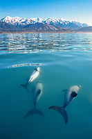 Hector's dolphins, Cephalorhynchus hectori, with snow-capped mountains in background, Kaikoura, New Zealand, Pacific Ocean
