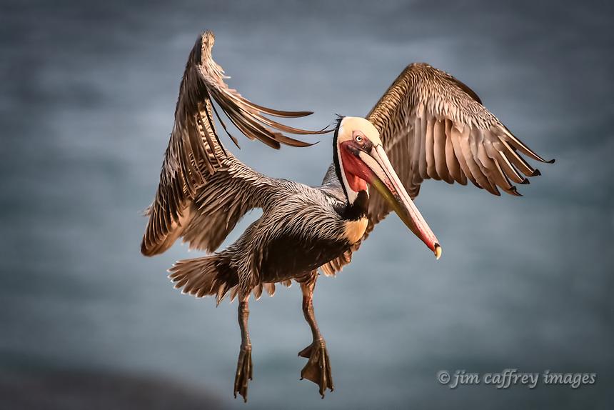 A Brown Pelican landing at<br /> La Jolla Cove near San Diego, California at sunrise.