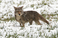 Coyotes (Canis latrans) are opportunistic, versatile carnivores with a 90% mammalian diet, depending on the season. They primarily eat small mammals, such as voles, prairie dogs, rabbits, ground squirrels, and mice, though they will eat birds, snakes, lizards, and deer, as well as large insects and other large invertebrates. The coyote will also target any species of bird that nests on the ground.