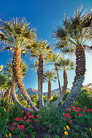 Palm trees in garden. Palm Desert, California