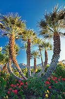 Palm trees in garden. Palm Desert, California