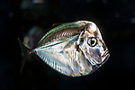 Atlantic moonfish swimming right