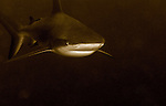 Bull Shark in sepia, Carcharhinus leucas, lurking in the darkness