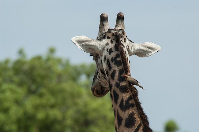 Maasai giraffe with red-billed oxpecker