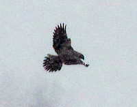 Gyrfalcon in pursuit of a gull in snow
