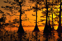 Bald Cypress trees, Lake Istokpoga, Florida
