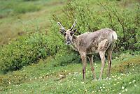 Young caribou, tundra wildflowers, Denali National Park, Alaska