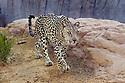 Male Arabian Leopard (Panthera pardus nimr) at the Arabian Wildlife Centre & captive-breeding project, Sharjah, United Arab Emirates.